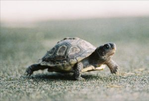 Why do turtles hibernate