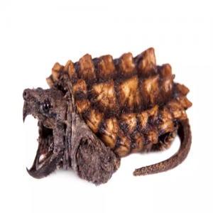 alligator snapping turtle baby