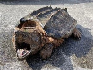 Alligator Snapping Turtle Adult